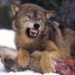 ლანჩხუთში მგელმა დასახლებულ პუნქტთან ახლოს ხბო დაგლიჯა