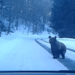 მოსეირნე დათვი რაჭის გზაზე (ვიდეო)